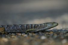 Free Macro Lizard Stock Photo - 793710