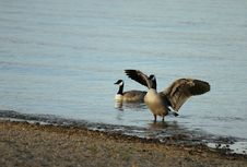 Goose Flapping Stock Photography