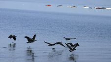 Free Geese In Flight Royalty Free Stock Photography - 793767