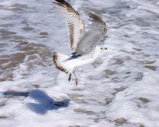 Free Gull Flight Royalty Free Stock Photo - 793885