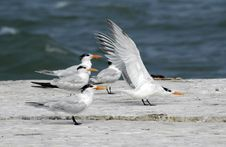 Free Sea Gulls Royalty Free Stock Photo - 794405