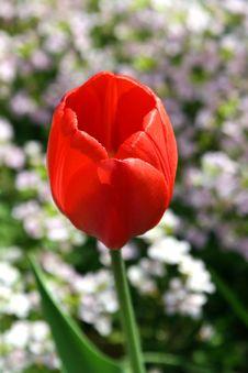Free Tulip. Stock Photos - 795343