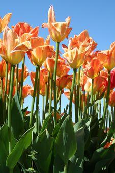 Free Orange & Yellow Shaded Tulips Stock Photography - 795942