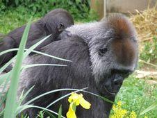 Free Gorillas Royalty Free Stock Image - 796086
