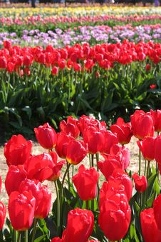 Free Tulip Garden Royalty Free Stock Images - 796169