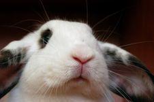 Free White Rabbit Stock Images - 796334