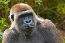 Free Closeup Of A Gorilla Royalty Free Stock Photography - 796877