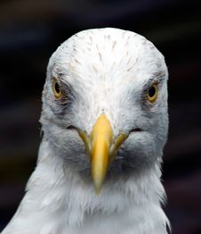 Free Angry Looking Seagull Royalty Free Stock Image - 796906
