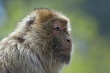 Barbary Ape Stock Images