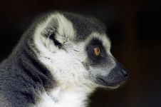 Free Ring Tailed Lemur Looking Sideways Royalty Free Stock Photography - 796937