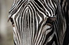 Free Zebra Up Close Royalty Free Stock Photography - 796957