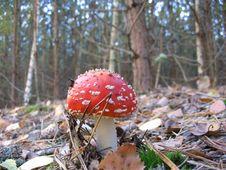 Free Mushroom Royalty Free Stock Photo - 797085
