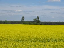 Free Yellow Rapeseed Fields Stock Photography - 797162