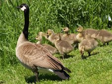 Free Mother Goose2 Stock Photo - 797350