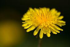 Free Dandelion Bloom Stock Images - 797394