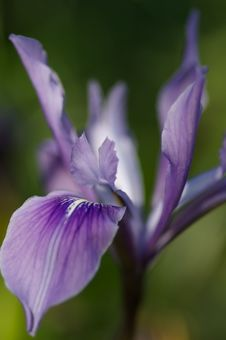 Free Purple Iris Stock Photography - 797612