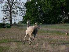 Free Arabian Horse Stock Photos - 798233