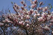 Free Magnolia Stock Photo - 798700