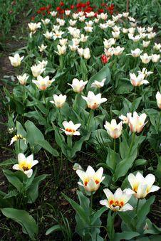 Free Tulip. Stock Images - 798964