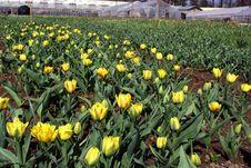 Free Tulips. Royalty Free Stock Photo - 798975