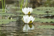 Free Waterlily Reflections Stock Photo - 799070