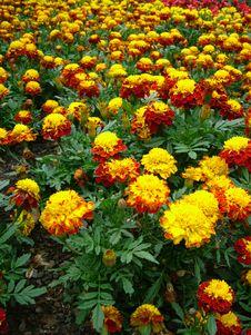 Free Yellow And Red Chrysanthemum Stock Image - 799381