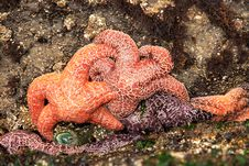 Free Group Of Starfish Stock Photography - 799752