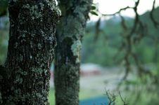 Free Oak Detail Royalty Free Stock Photo - 799795