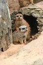Free Meerkat Friendship Stock Image - 7900461