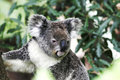 Free Koala Bear Stock Photos - 7906893