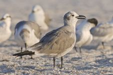 Free Seagulls Royalty Free Stock Images - 7900229