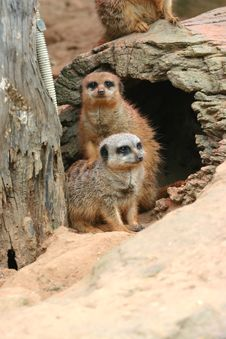 Meerkat Friendship Stock Image