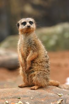 Free A Meerkat On Lookout Duty Royalty Free Stock Photography - 7900887