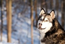Free Crossbreed Huskey Malamut In The Snow Looking Behi Stock Photos - 7902073