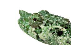 Free Meller�s Chameleon Royalty Free Stock Images - 7902169