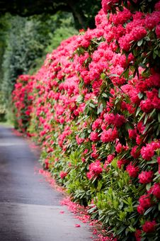 Free A Road Lined With Rhododendron Stock Image - 7902481
