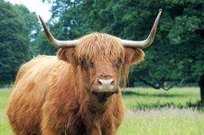 Free Highland Bull, Scotland Royalty Free Stock Photos - 7902668