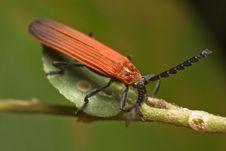 Free Long-nosed Lycid Beetle Royalty Free Stock Image - 7903146