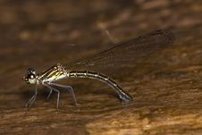 Free Damselfly Royalty Free Stock Photo - 7903175