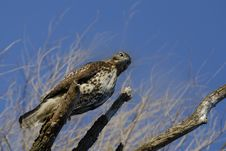 Free Red Tailed Hawk Stock Photo - 7903210