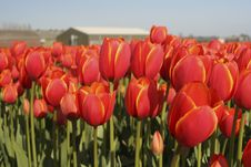 Free Tulip Field Royalty Free Stock Image - 7903356