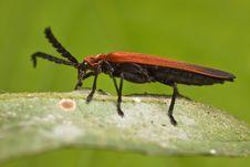 Free Long-nosed Lycid Beetle Stock Photo - 7903760