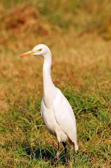 Free White Cattle Egret Royalty Free Stock Photo - 7904655