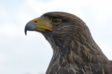 Free Eagle Close Up Royalty Free Stock Photo - 7905175