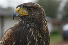 Free Eagle Close Up Stock Photo - 7905190