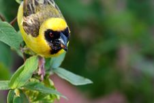 Free Masked Weaver Stock Photos - 7905223