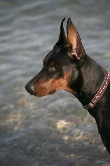 Dog Against The Sea. Stock Images