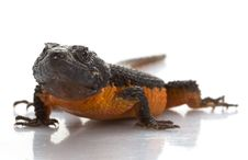 Free Transvaal Girdled Lizard Royalty Free Stock Images - 7906009