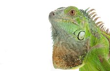 Free Green Iguana Royalty Free Stock Photography - 7906367