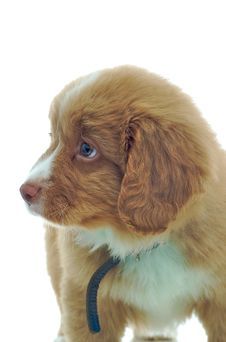 Free Nova Scotia Duck Toller Puppy Stock Photo - 7906410